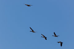 Πτήση χήνων Στοκ Φωτογραφίες