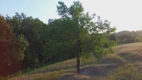 Πτήση Aero κοντά στο μόνο δέντρο στο ηλιοβασίλεμα φιλμ μικρού μήκους