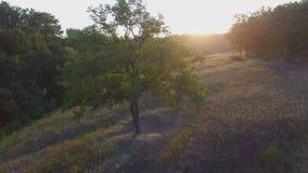 Πτήση Aero πέρα από το μόνο δέντρο στο ηλιοβασίλεμα απόθεμα βίντεο