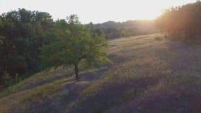 Πτήση Aero πέρα από το μόνο δέντρο στο ηλιοβασίλεμα φιλμ μικρού μήκους