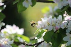 Πτήση Bumblebee Στοκ φωτογραφίες με δικαίωμα ελεύθερης χρήσης