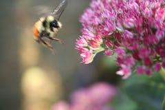 Πτήση Bumblebee Στοκ Φωτογραφία