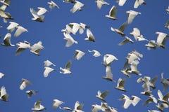 Πτήση Cockatoos Στοκ εικόνα με δικαίωμα ελεύθερης χρήσης