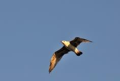 Πτήση seagull Στοκ εικόνες με δικαίωμα ελεύθερης χρήσης