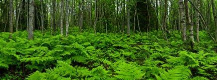 πτεριδόφυτο δάσος Στοκ Εικόνες