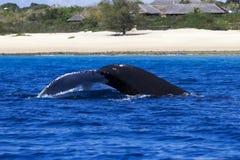Πτερύγιο ουρών της φάλαινας humpback στη Μοζαμβίκη Στοκ Εικόνα