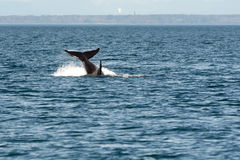 Πτερύγιο τρηματωδών σκωλήκων Orca Στοκ εικόνες με δικαίωμα ελεύθερης χρήσης