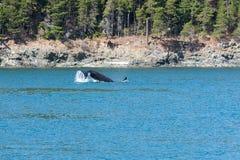 Πτερύγιο τρηματωδών σκωλήκων Orca Στοκ Φωτογραφία