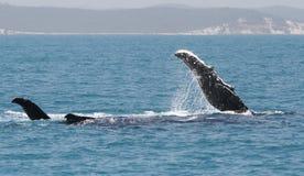 πτερύγιο humpbackwhales Στοκ φωτογραφία με δικαίωμα ελεύθερης χρήσης