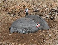 πτηνά Γουινέα δύο σκόνης λουτρών Στοκ Εικόνες