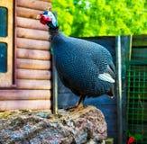 πτηνά Γουινέα Η φραγκόκοτα είναι πουλιά της οικογένειας Numididae Στοκ φωτογραφία με δικαίωμα ελεύθερης χρήσης
