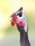 πτηνά Γουινέα κινηματογραφήσεων σε πρώτο πλάνο ανασκόπησης φυσική Στοκ εικόνες με δικαίωμα ελεύθερης χρήσης