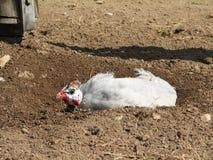 πτηνά Γουινέα Στοκ Φωτογραφίες
