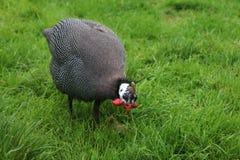 πτηνά Γουινέα Στοκ Εικόνα