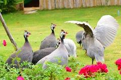 πτηνά Γουινέα Στοκ Φωτογραφία