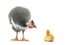 πτηνά Γουινέα Στοκ εικόνα με δικαίωμα ελεύθερης χρήσης