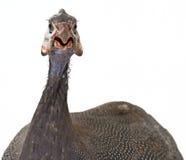 πτηνά Γουινέα Στοκ Εικόνες