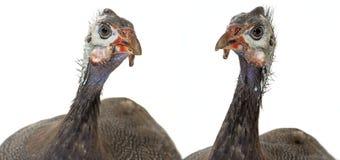 πτηνά Γουινέα Στοκ φωτογραφίες με δικαίωμα ελεύθερης χρήσης