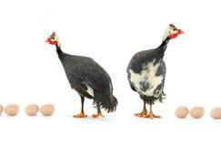 πτηνά Γουινέα Στοκ εικόνες με δικαίωμα ελεύθερης χρήσης