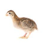 πτηνά Γουινέα keet παλαιά μόνιμη &e Στοκ Φωτογραφίες