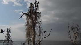 Πτηνά γύρω από τη λίμνη Naivasha απόθεμα βίντεο