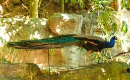 Πτηνά ζουγκλών Στοκ Εικόνα