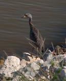 Πτηνά νερού Στοκ Φωτογραφίες