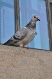 Πτηνά στο Καίμπριτζ Στοκ Φωτογραφία
