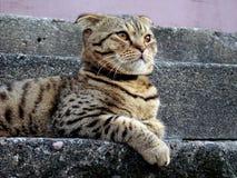 πτυχές σκωτσέζικα γατών σφαιρών Στοκ Εικόνα