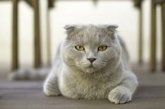πτυχές σκωτσέζικα γατών σφαιρών Στοκ φωτογραφία με δικαίωμα ελεύθερης χρήσης