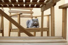 πτυχές σκωτσέζικα γατών σφαιρών Στοκ Εικόνες