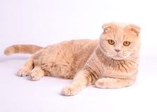 πτυχές σκωτσέζικα γατών σφαιρών Στοκ εικόνες με δικαίωμα ελεύθερης χρήσης