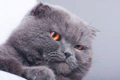 πτυχές σκωτσέζικα γατών Στοκ φωτογραφίες με δικαίωμα ελεύθερης χρήσης