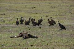 Πτώμα ελεφάντων με τους γύπες Στοκ Εικόνα