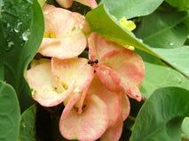 Πτώσεις λίγου πόσιμου νερού μυρμηγκιών στο λουλούδι αγκαθιών Χριστού Στοκ Φωτογραφία