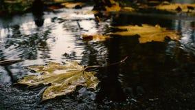 Πτώσεις βροχής που μειώνονται στη λακκούβα με τα κίτρινα φύλλα σφενδάμου απόθεμα βίντεο