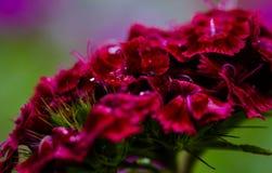 Πτώσεις βροχής σε ένα κόκκινο γλυκό λουλούδι του William Στοκ φωτογραφίες με δικαίωμα ελεύθερης χρήσης