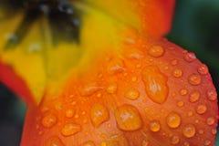 Πτώσεις βροχής σε ένα πέταλο τουλιπών Στοκ εικόνες με δικαίωμα ελεύθερης χρήσης