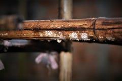 Πτώσεις βροχής σε ένα ραβδί μπαμπού Στοκ Φωτογραφίες