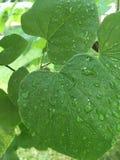 Πτώσεις βροχής στα φύλλα Στοκ Εικόνες