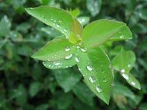 Πτώσεις βροχής στα φύλλα Στοκ Φωτογραφία