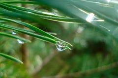 Πτώσεις βροχής στις βελόνες πεύκων στοκ εικόνα