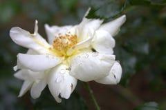 Πτώσεις βροχής στο άσπρο λουλούδι στοκ εικόνες με δικαίωμα ελεύθερης χρήσης