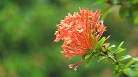 Πτώσεις βροχής στο λουλούδι Στοκ Εικόνες
