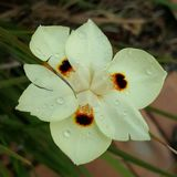 Πτώσεις βροχής στο λουλούδι Στοκ Φωτογραφίες