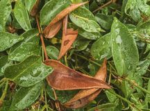 Πτώσεις βροχής στο φύλλωμα φύλλων στοκ φωτογραφία με δικαίωμα ελεύθερης χρήσης