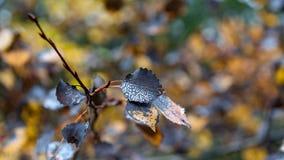 Πτώσεις δροσιάς στα φύλλα φθινοπώρου Στοκ φωτογραφία με δικαίωμα ελεύθερης χρήσης