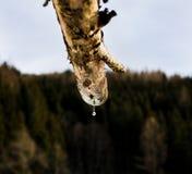 Πτώσεις νερού από μια ξύλινη υδρορροή στα ευρωπαϊκά όρη το χειμώνα στοκ εικόνες