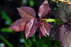 Πτώσεις νερού στα κόκκινα φύλλα Στοκ Εικόνες