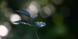Πτώσεις νερού στα φύλλα clematis Στοκ εικόνες με δικαίωμα ελεύθερης χρήσης